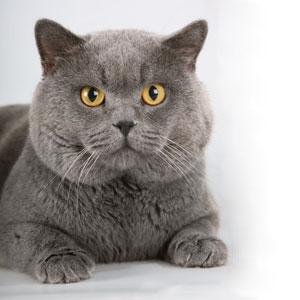 Русская голубая кошка фото цена окрасы видео характер